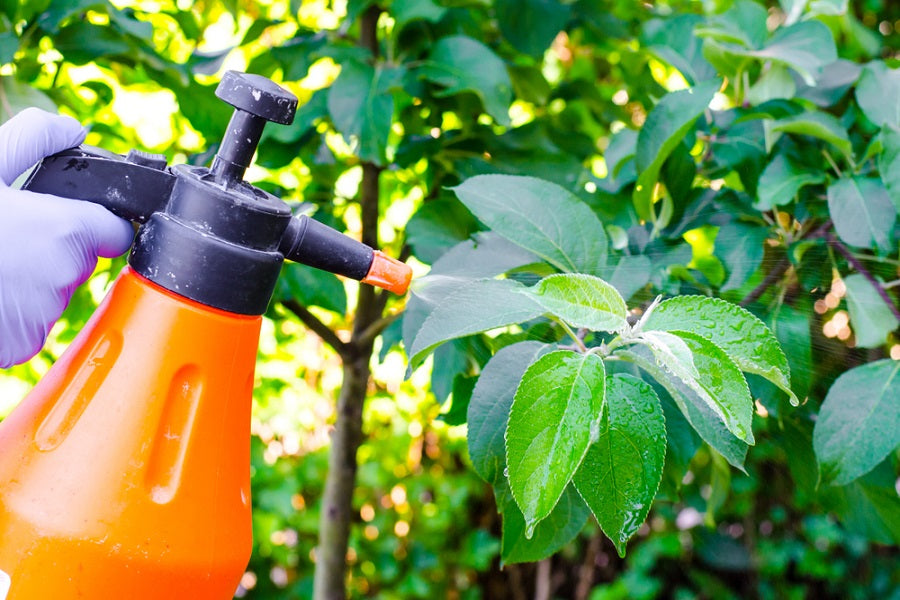 Homemade Organic Pesticides Spray for Citrus Fruit Trees