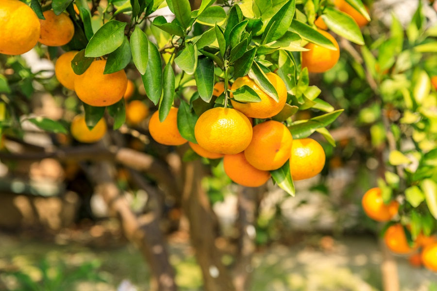 Citrus Fruit Trees