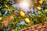 Citrus Growing in Light