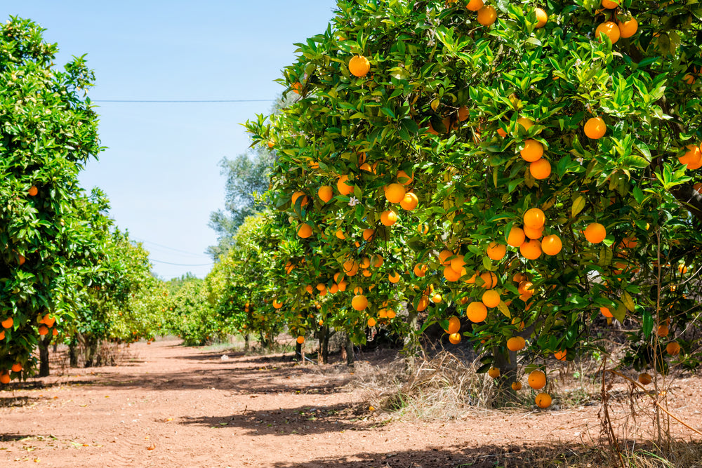 Citrus Tree Grove