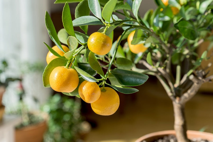 Citrus Tree in a Pot
