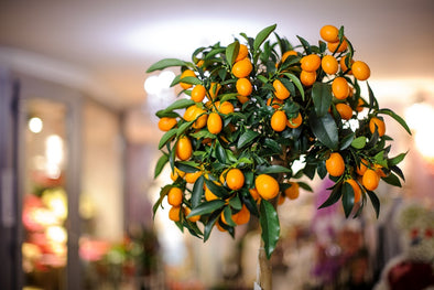 Grow and Care for Indoor Citrus Trees