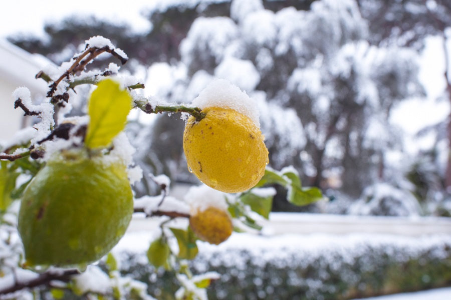 Top Signs of Lemon Tree Cold Damage