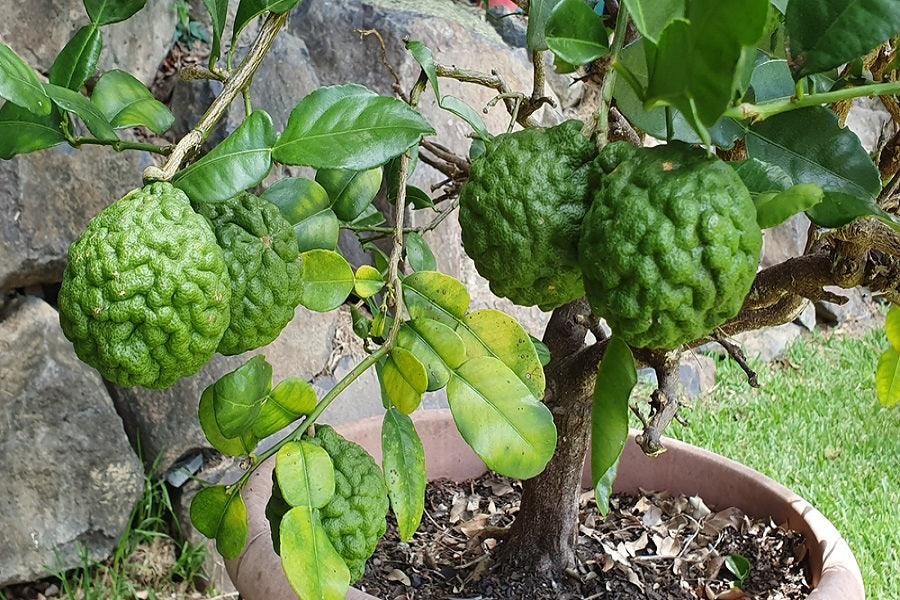 How Tall Can Dwarf Lime Trees Grow In Your Backyard Us