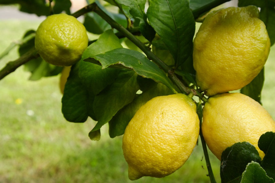 Shocking Reasons Why You Might Be Failing with a Eureka Lemon Tree