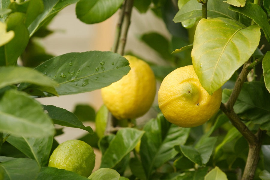 Surprising Facts About Eureka Lemon Trees