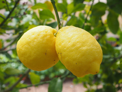 How to Care for a Eureka Lemon Tree