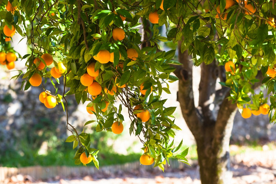 The Top 5 Easy And Fast Growing Fruit Trees For Beginners Us Citrus
