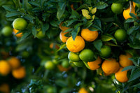 Becoming a Citrus Tree Grower