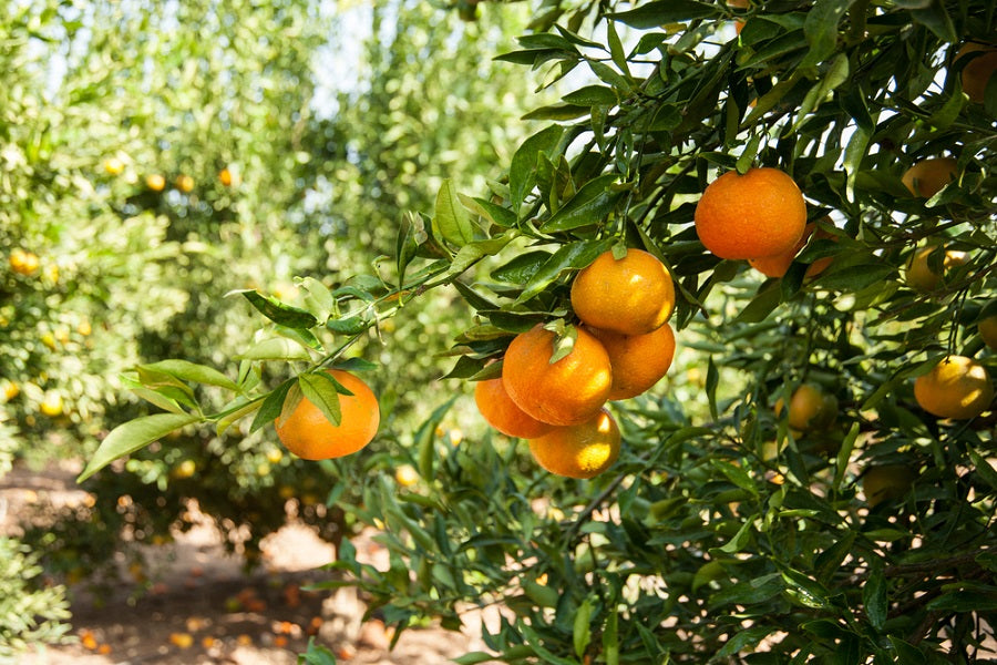 Top Tips for Growing Citrus Trees in Containers