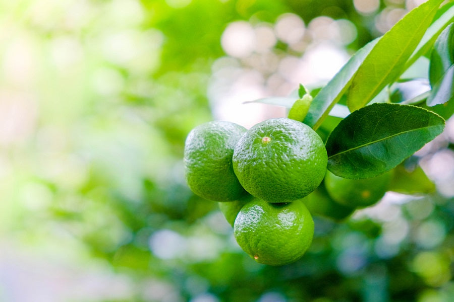 Growing Key Lime Tree