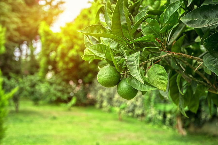 Tips for Growing Lime Trees
