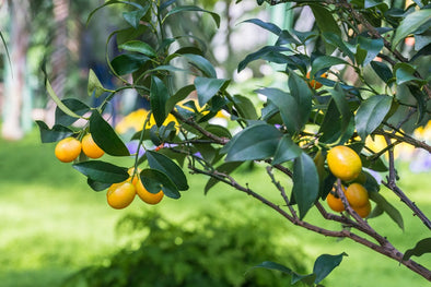 The Secrets To Growing Meyer Lemon Trees