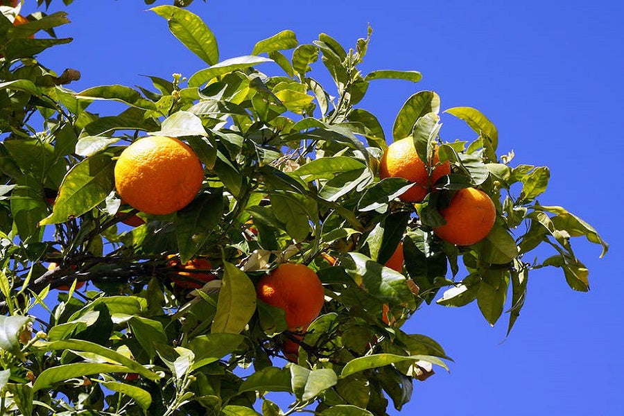How to Plant Citrus Trees