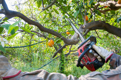 Pruning a Citrus Tree