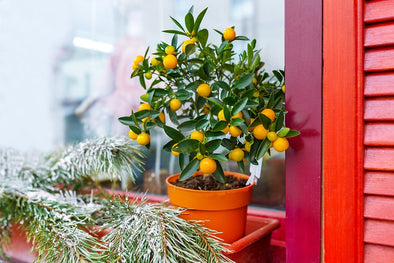 Top 5 Winter Care Tips for Your Indoor Citrus Tree