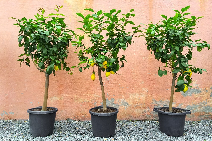 Repotting Indoor Citrus Trees