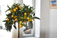 Indoor Citrus Fruit Tree