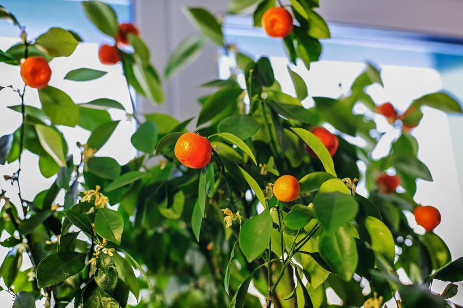 Caring for an Indoor Orange Tree