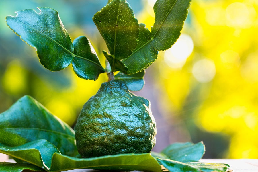 Care, Keeping, & Cooking of Kaffir Lime Leaves