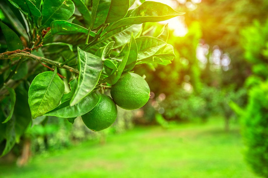 How to Care for Key Lime Trees