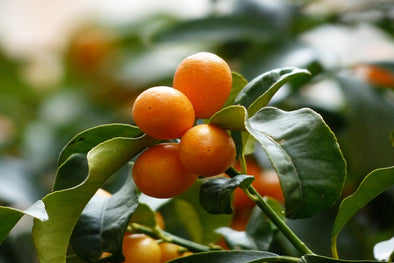 Factors That Could Affect Your Kumquat Trees