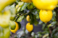 Ideal Lemon Tree Climate