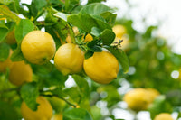 Simple Ways to Keep Lemon Tree Pests at Bay
