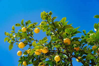 How to Plant a Lemon Tree and Help it Thrive