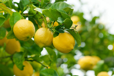 Water Requirements for a Lemon Citrus Tree