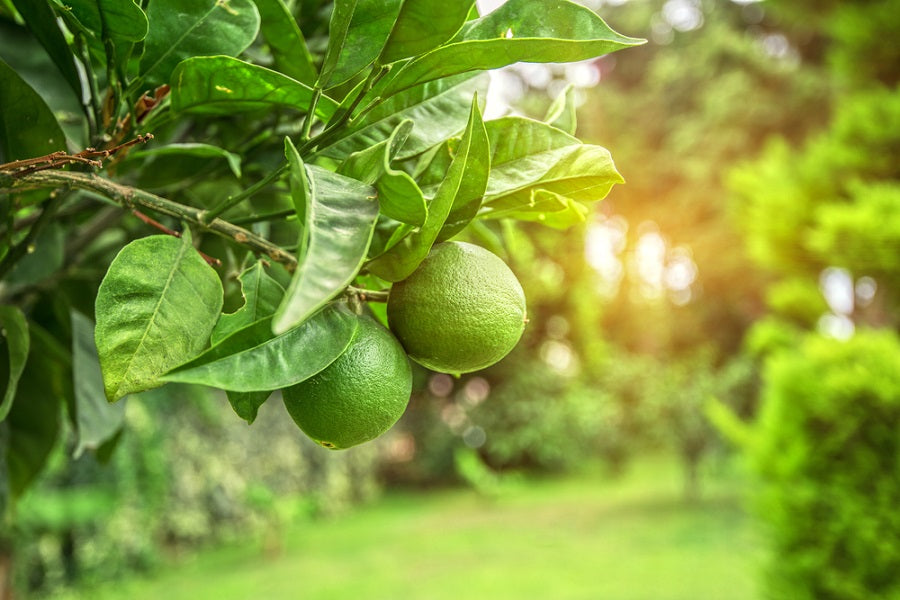 Difference Between Lime and Lemon Trees