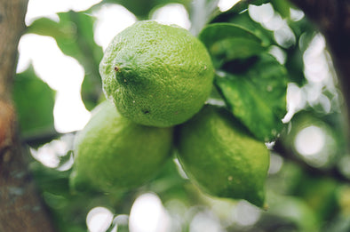 Persian Lime Tree Care