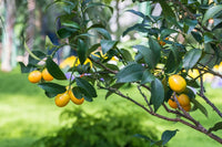 The Best Way to Care for Meyer Lemon Trees