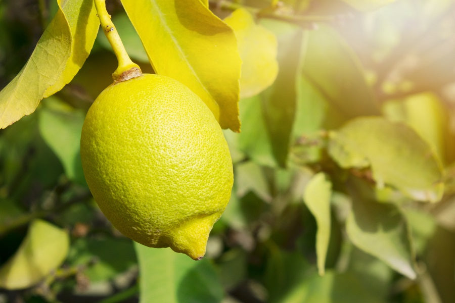 Meyer Lemon Tree Indoor Care Tips