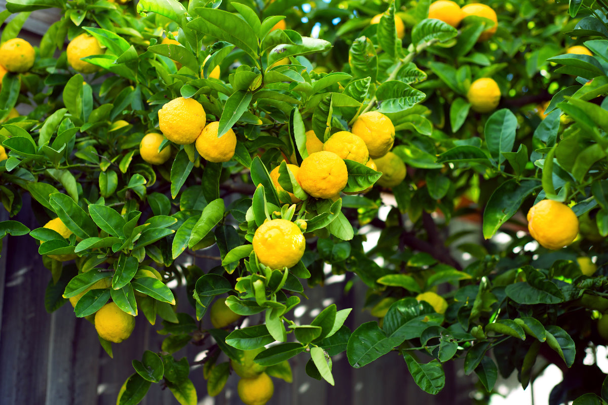Top 5 Tips For Caring For A Meyer Lemon Tree Us Citrus