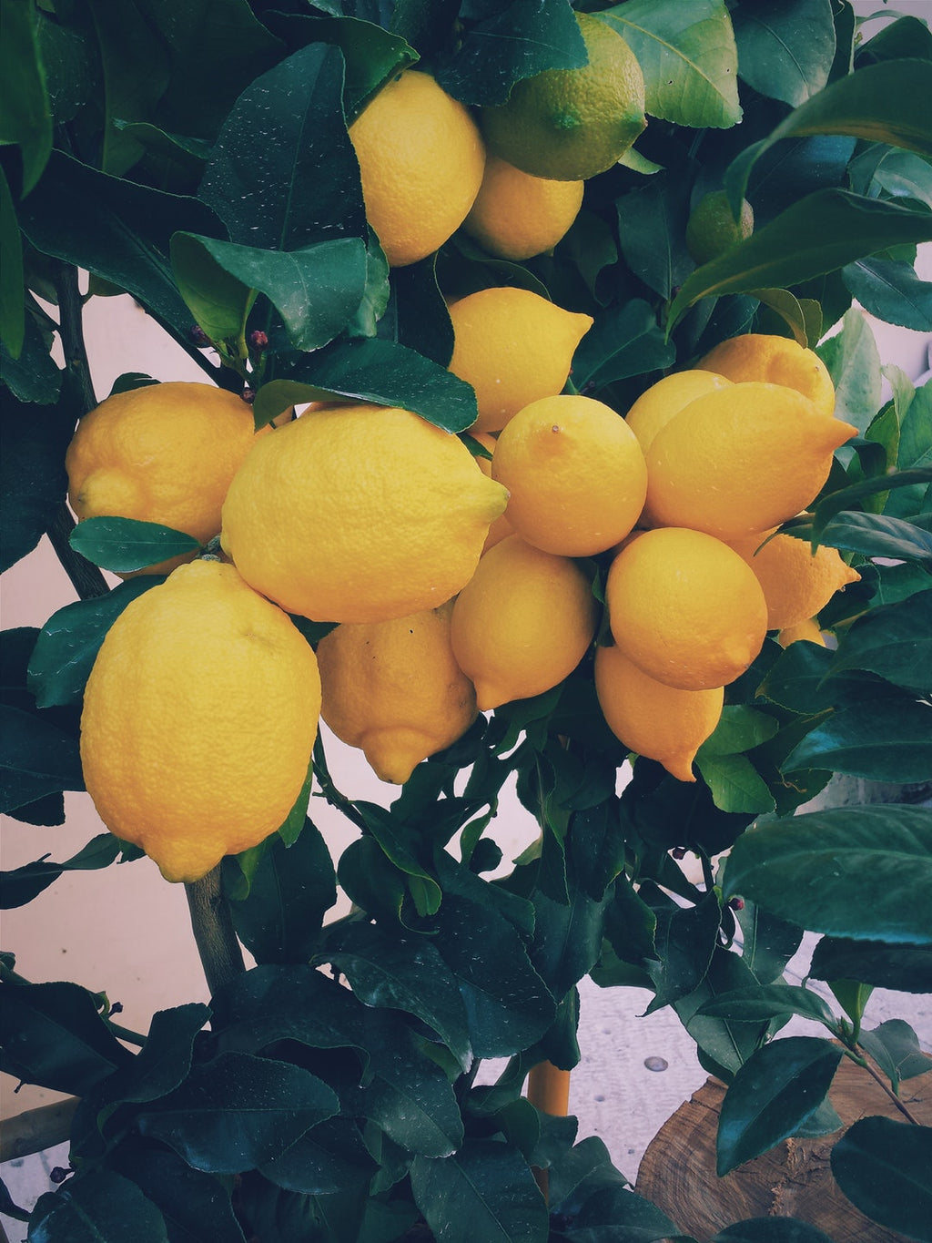 Meyer Lemon Tree Care Tips