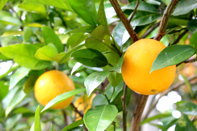 How to Care for a Navel Orange Tree