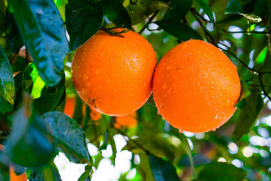 How to Plant A Navel Orange Tree Successfully