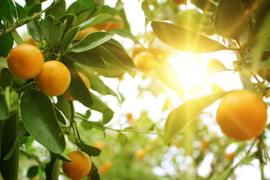 Orange Tree Diseases