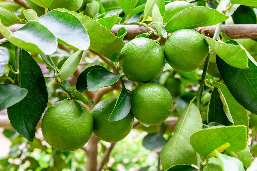 Growing a Persian (Tahitian) Lime Tree