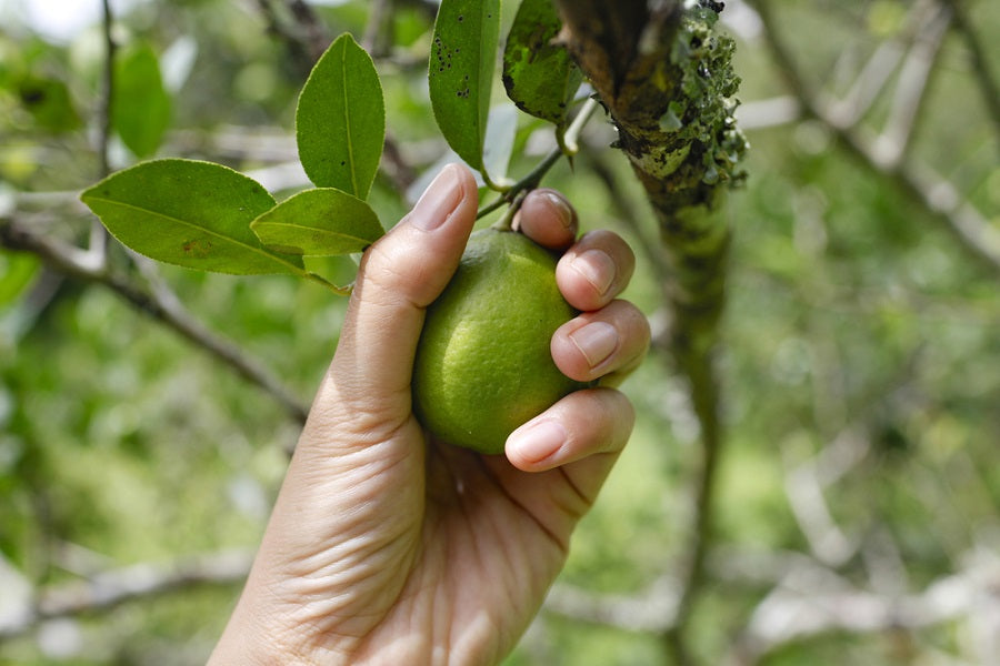 When to Pick Limes: How to Tell When a Lime Is Ripe