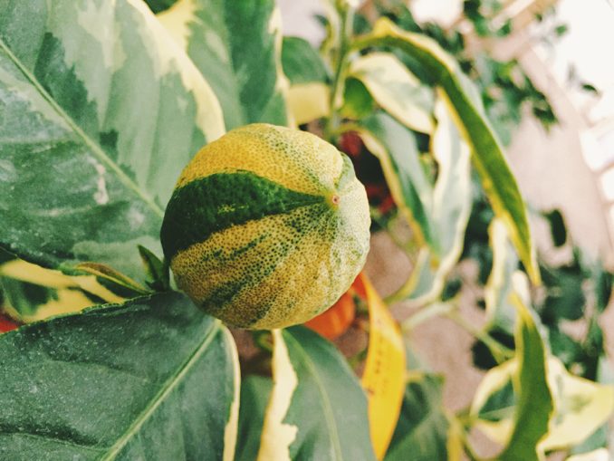 How to Grow Pink Variegated Lemons in 8 Steps