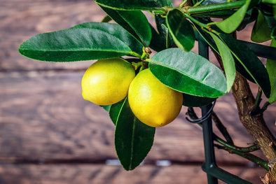 How to Revive a Sick Citrus Tree