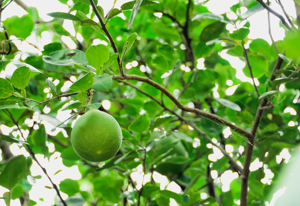 Rio Red Grapefruit Tree Growing