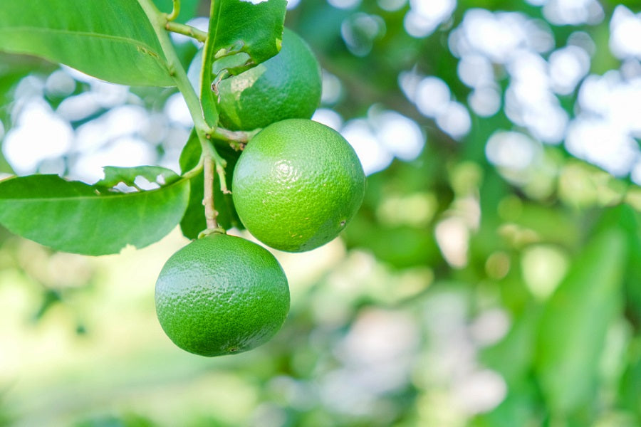 Tips On Growing Thornless Key Lime Trees Us Citrus