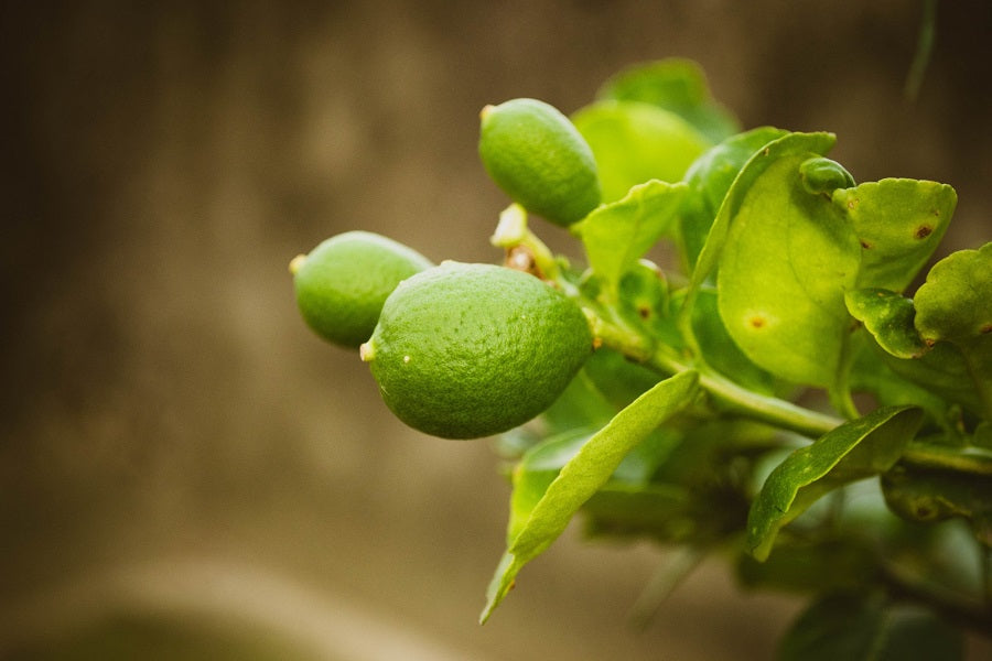 Types of Lime Trees