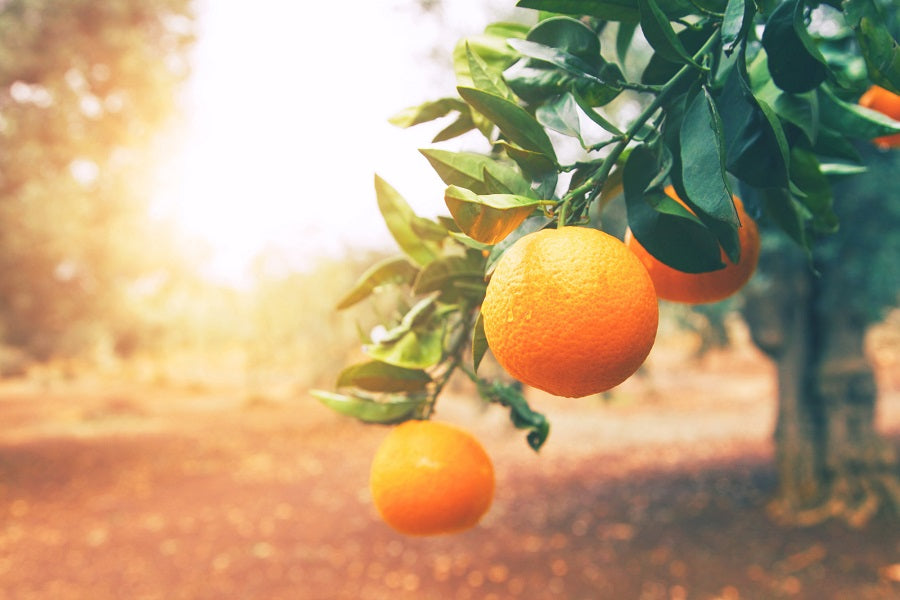 Types of Citrus Trees to Grow