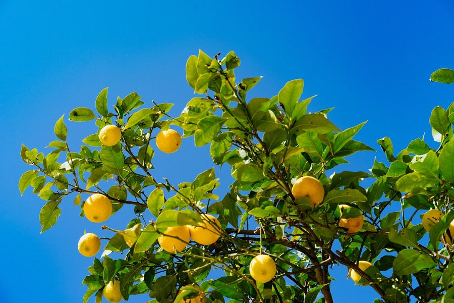 Different Types of Lemon Tree
