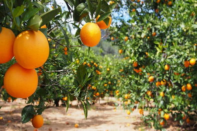 Valencia Orange Tree Grove