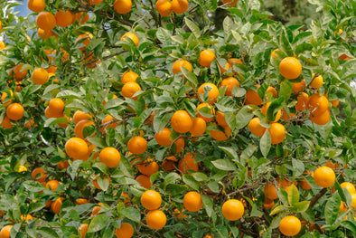 How to Care for a Valencia Orange Tree
